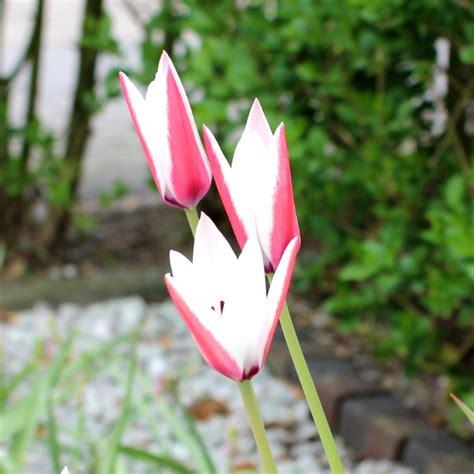 tulipa peppermint stick