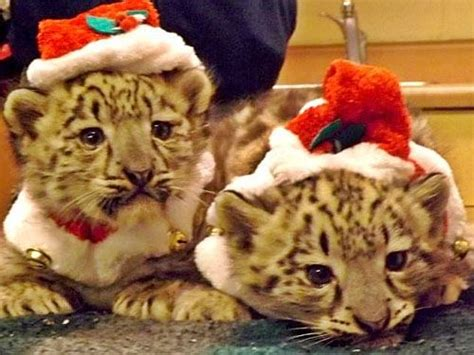 chattanooga zoo goes wild for christmas wrcbtv com