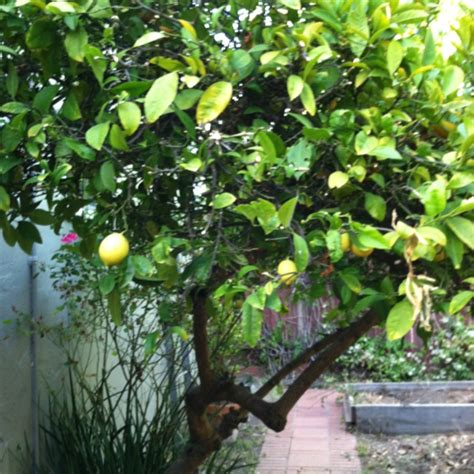 backyard lemon tree dwarf lemon tree our lil backyard pinterest