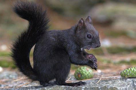Black Squirrel Nationwide Hunt 100 Years After It Was Black Squirrel