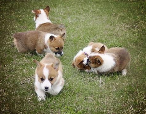 corgi puppies maine pb pembroke corgi pup payment 750 00 and payment is maine aim
