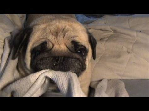 the pug song the pug song funnydog tv