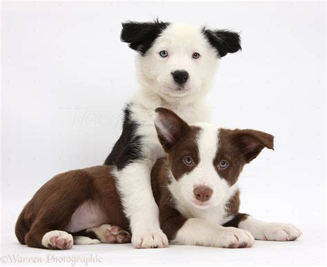 black and white border collie puppy dogs chocolate and black and white border collie puppies photo wp37316