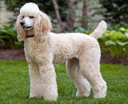 can my teacup poodle get the standard poodle haircut the standard poodle a dog that knows how special it is