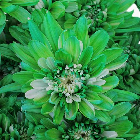 bulk flowers green cushion bulk flower