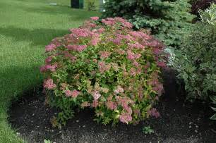 Flowers In St Paul Mn - goldflame spirea spiraea x bumalda goldflame in