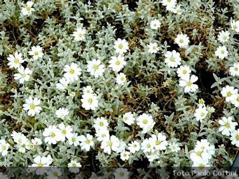 Piante Tappezzanti Basse by Cerastium Erbacee Tappezzanti Caryophyllaceae
