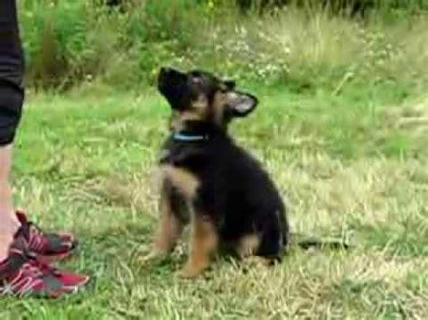 9 week german shepherd puppy basiator 9 weeks longhaired german shepherd puppy