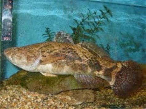 Umpan Udang Kecil jenis jenis ikan air tawar yang sering terpancing di