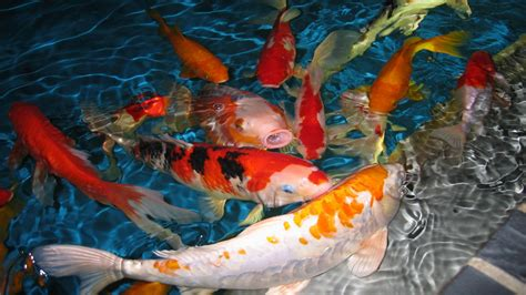 koi live wallpaper version apk free koi live wallpaper pro apk koi free live wallpaper for pc free image gallery koi
