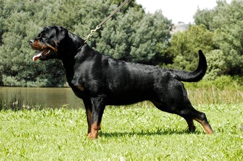 cheap rottweiler puppies doberman puppies for sale salem oregon breeds picture