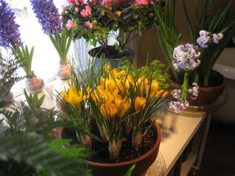forcing crocus  winter bloom indoors