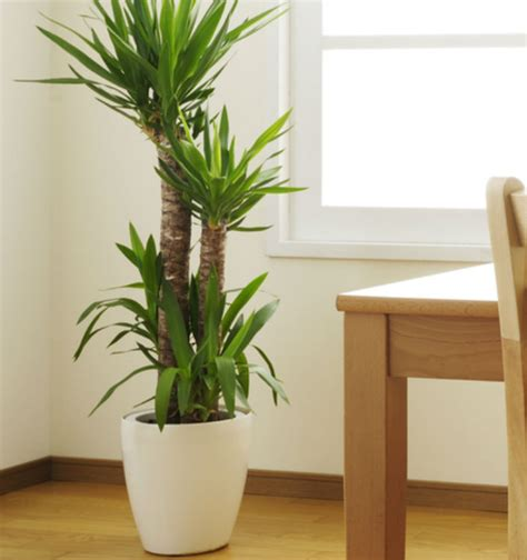 best indoor trees indoor plants