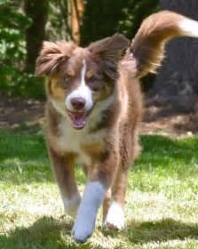 Australian shepherd husky mix dog training home dog types