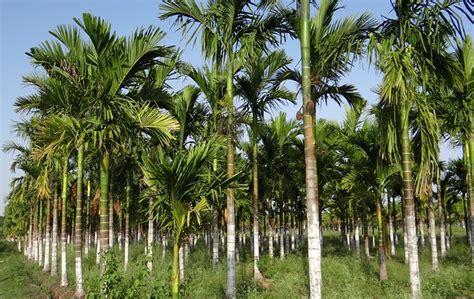 Bibit Pinang budidaya tanaman pinang petani hebat
