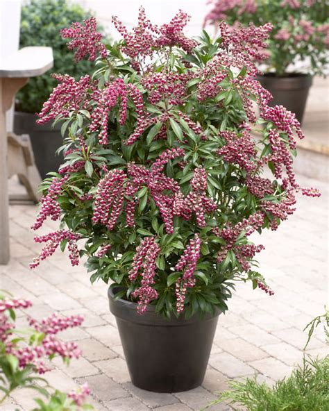 flowering shrubs for pots 44 best shrubs for containers best container gardening