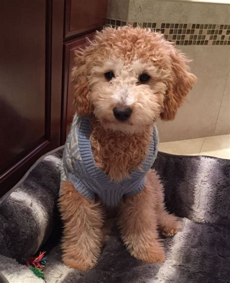 doodle pet toys 25 great ideas about goldendoodle on