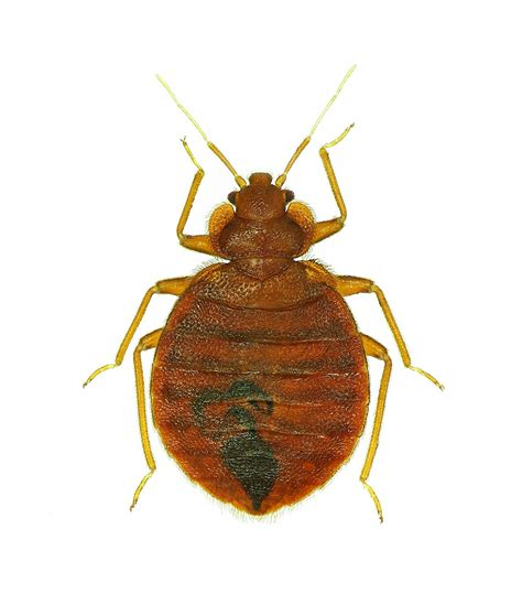 bugs    bed bugs pictures examples