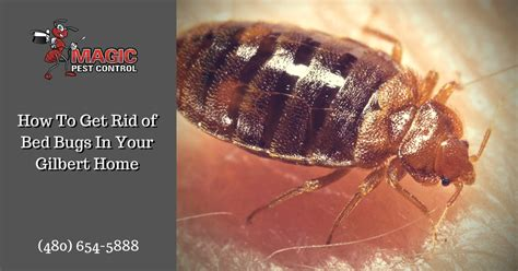 how do exterminators get rid of bed bugs how to get rid of bed bugs in your gilbert home magic