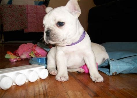bulldog puppies for adoption bulldog puppies for adoption images craft ideas adoption