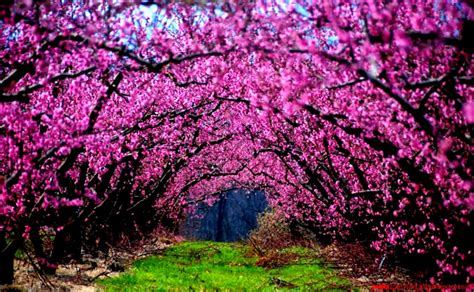 wallpaper pink trees nature pink trees flowers grass fields photography