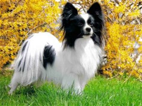 papillon puppies for sale mn papillon rescue raleigh nc