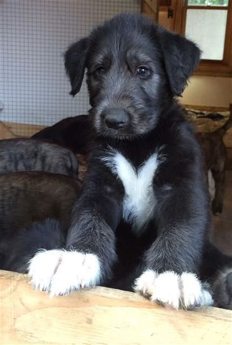 timber creek puppies 1000 ideas about wolfhound puppies on wolfhounds wolfhound