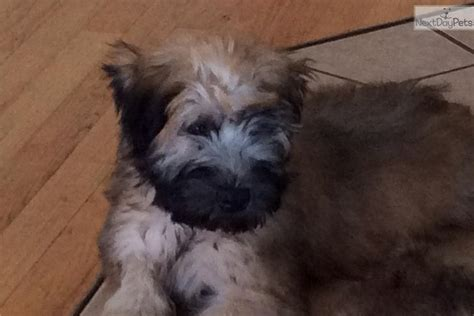 puppies for sale on cape cod soft coated wheaten terrier puppy for sale near cape cod