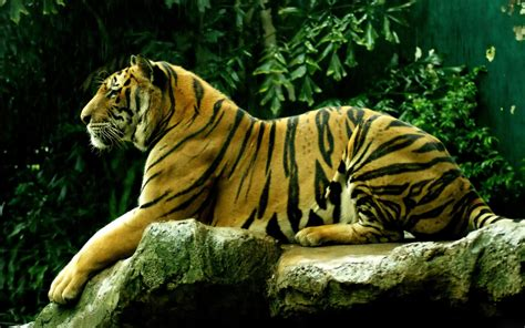 tiger backgrounds wallpapers bengal tiger wallpapers