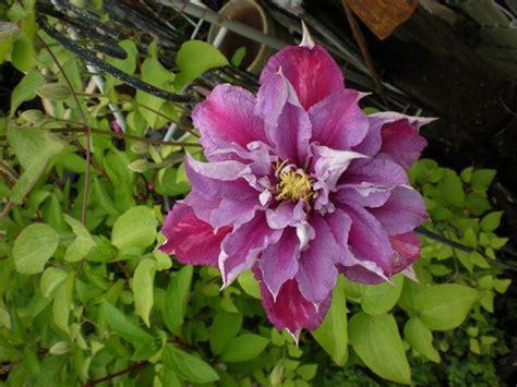 fiore clematis clematis piilu piante da giardino