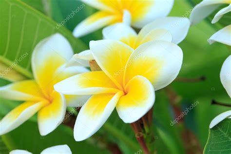 fiori di frangipane fiori di frangipane su un albero foto stock