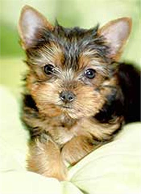 how fast do yorkies grow terrier losing hair photo