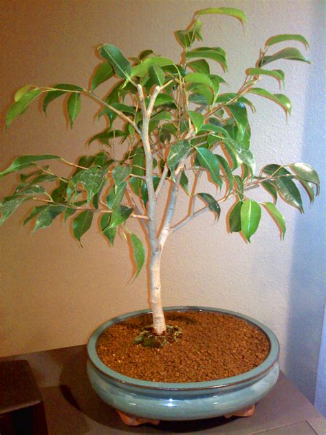 best indoor tree best indoor bonsai trees top 10 best indoor bonsai trees