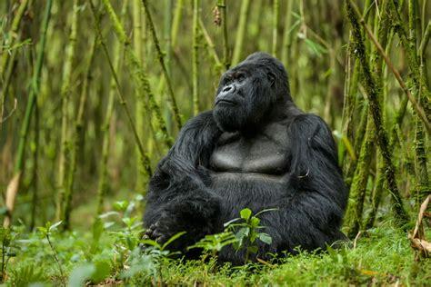 Greenery Code mountain gorilla sitting in greenery rwanda as roaming