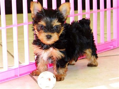 teacup yorkie for adoption in ga best 20 teacup yorkie for adoption ideas on