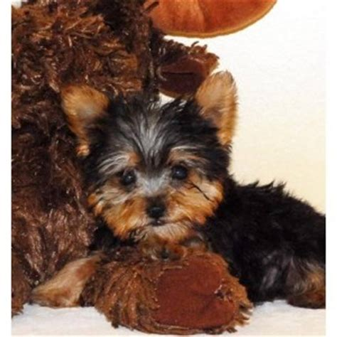 yorkie puppies massachusetts dogs massachusetts free classified ads