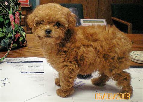 akc miniature poodle puppies for sale for sale illinois breeder poodle puppies miniature poodles puppy moyen poodle
