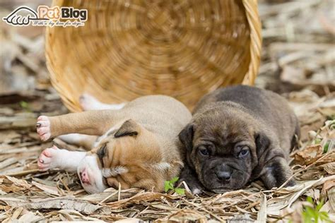 best food for pitbull puppies understanding your s nutritional needs with best food for pit bulls puppies