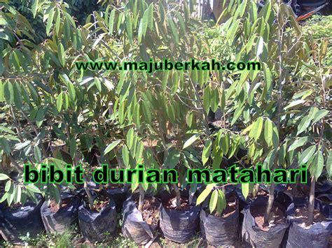 Bibit Durian Matahari Unggul bibit durian matahari bibit tanaman durian matahari jual bibit durian matahari