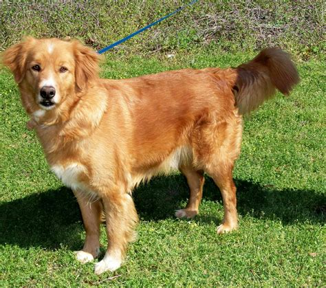 golden retriever school thank you lord for fleas