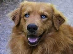 golden retriever eye color finnegan muldoon golden aussie mix golden retriever australian shepherd puppy