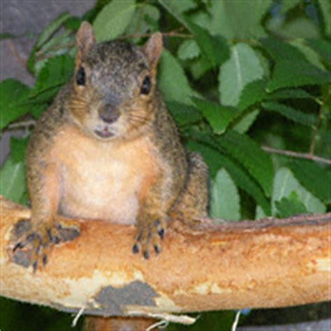 bark stripping by gray squirrels and fox squirrels