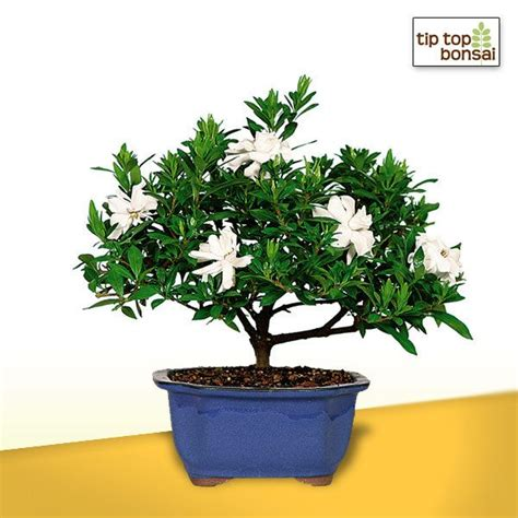 Gardenia Pine Tree 33 Best Images About Our Bonsai For You On