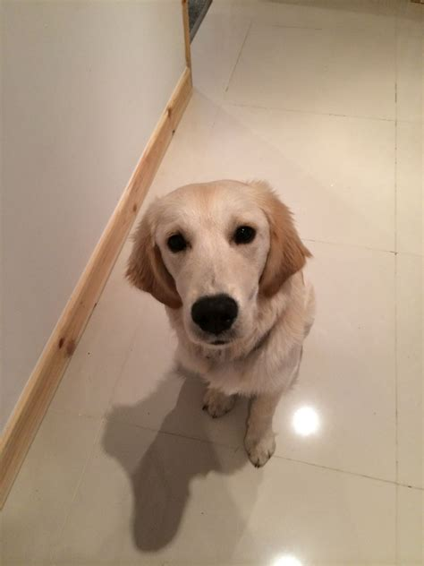 6 month golden retriever golden retriever 6 month puppy bolton greater manchester pets4homes