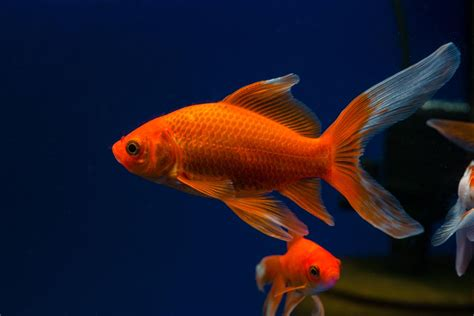 can dogs eat goldfish comet goldfish fish breed information catdogfish