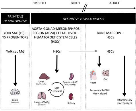 frontiers transcriptional regulation of mononuclear 100 transcriptional regulation and the diversification