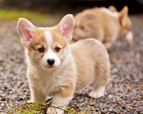 pembroke corgi puppies pembroke corgi puppies play at black gravel adogbreeds