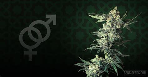 cannabis strain focus northern lights 174 from sensi seeds