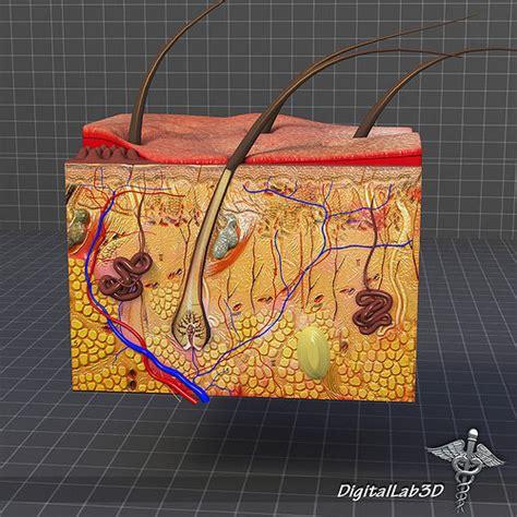 skin anatomy model cgtrader