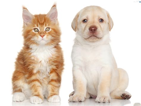 labrador puppies maine labrador retriever cat maine coon dogs wallpapers 3000x2264